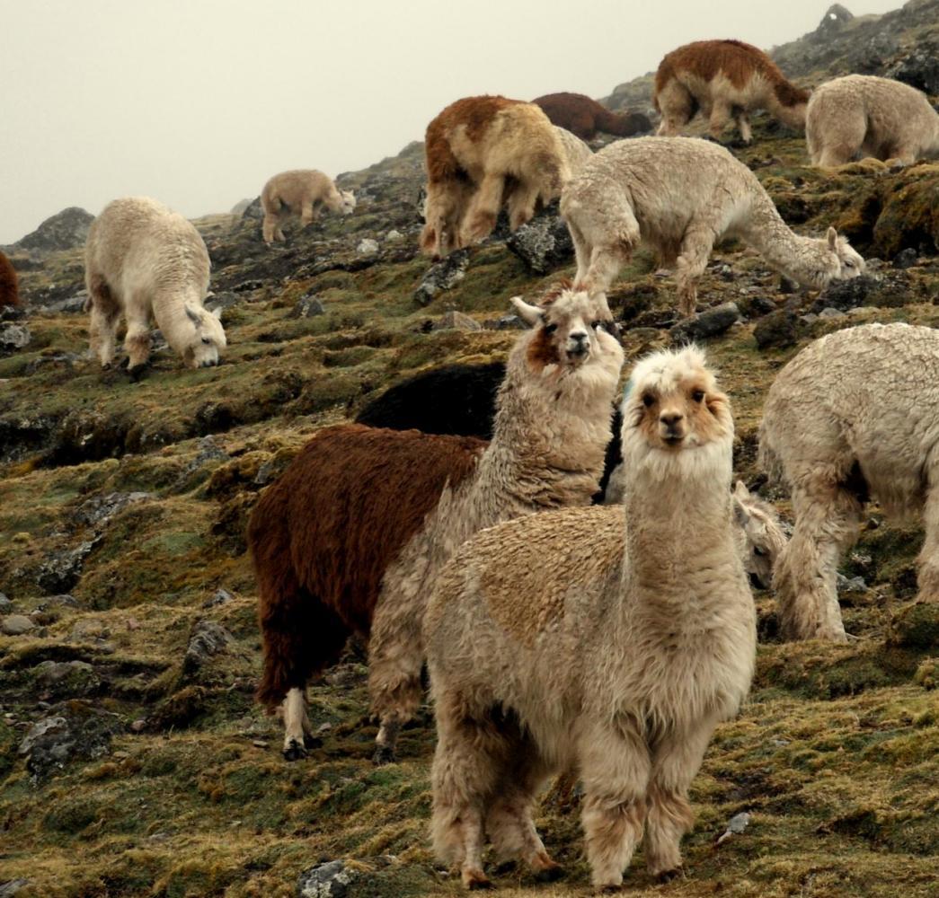 lamas Pérou trek