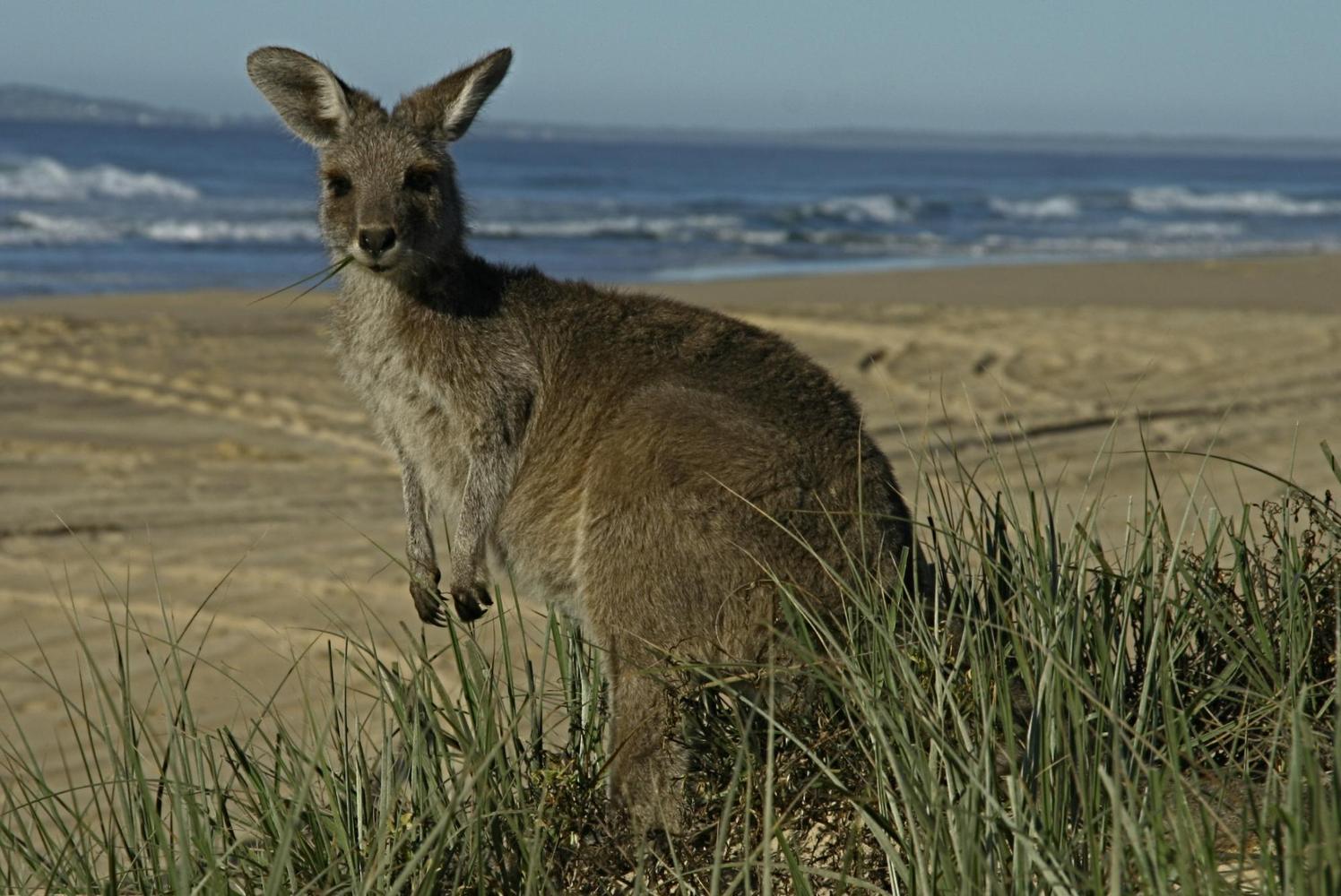 Kangourou, Australie - Claire Spaïni