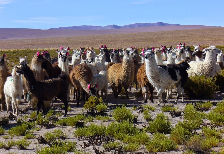 lama alpaca randonnée