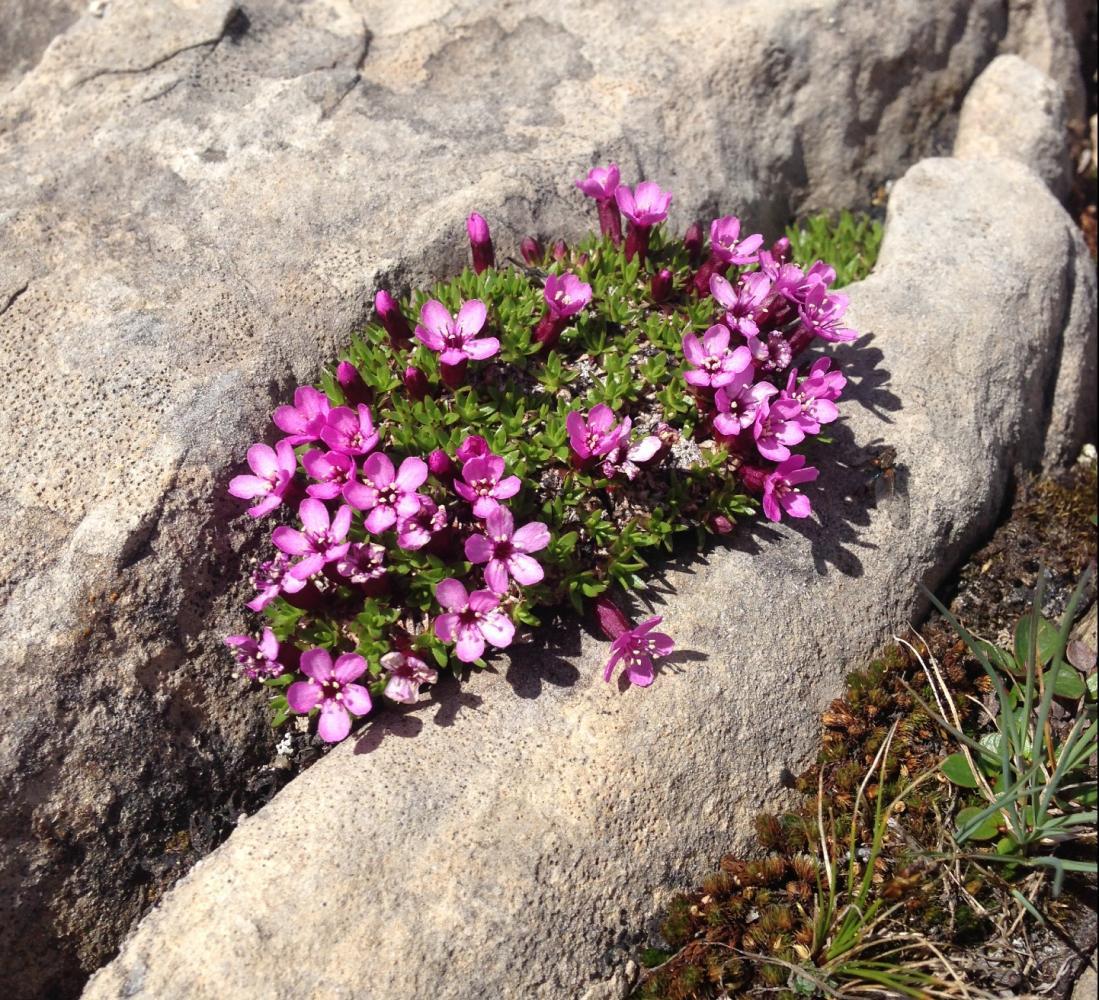 fleurs altitude randonnée