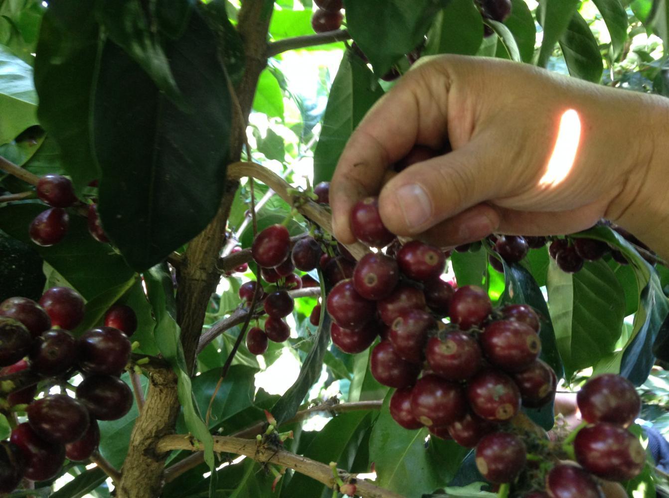visite café tour equateur dégustation