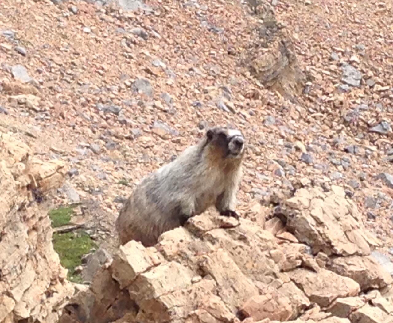 marmotte mistaya